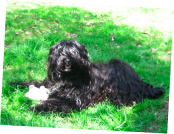 Tibetan Terrier and Toy